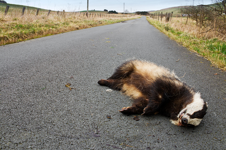 dead animal: Badger lies on the side of the road after being hit by a speeding vehicle