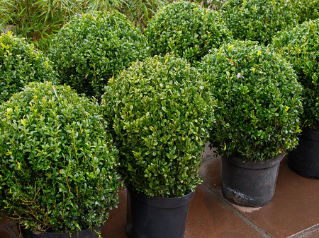 Row of topiary bushes in pots for sale at a nursery or garden centre a great feature for landscape gardeners.
