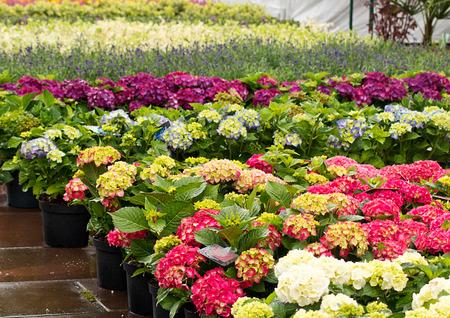 Rows of flowers for sale at a retail garden center, nursery or market garden. Standard-Bild