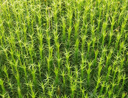 turba: De cerca los detalles foto de musgo Sphagnum que se puede encontrar en los pantanos o ciénagas un gran fondo de tanque de peces. Foto de archivo