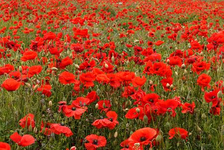 poppy: amapolas silvestres escena del paisaje típico de los utilizados para el domingo con el recuerdo de que el símbolo tradicional flor de amapola roja Foto de archivo
