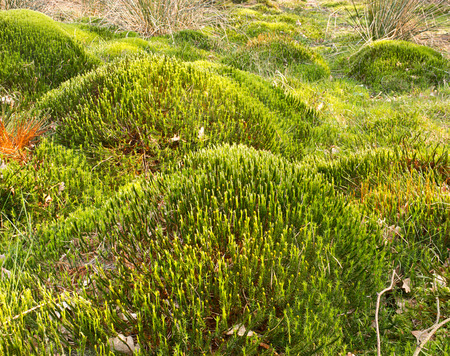 anaerobic: Typical wetland landscape ecological scene showing sphagnum moss mounds which forms the fuel peat and is often threatened by drainage.