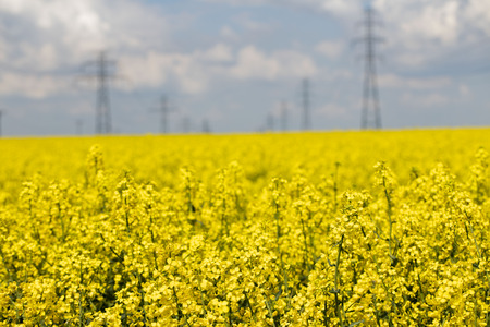 Rape field scenery. Summer time. Backgrounds concept. Stock Photo