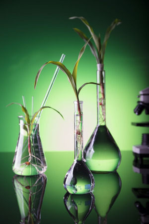 corn flower: Biotechnology. Experimenting with flora in laboratory.