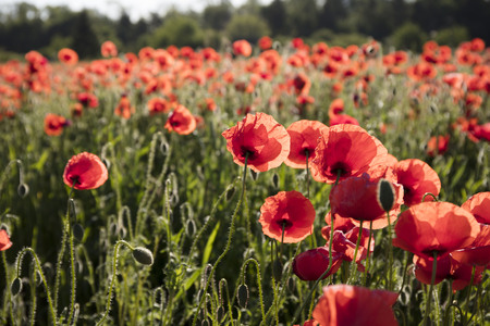 estate: Beautiful red poppy field. Concept of background.