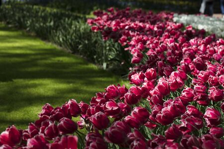 Blooming colorful tulips in flower-garden under sunshine. Tulips - symbol of Holland. Фото со стока