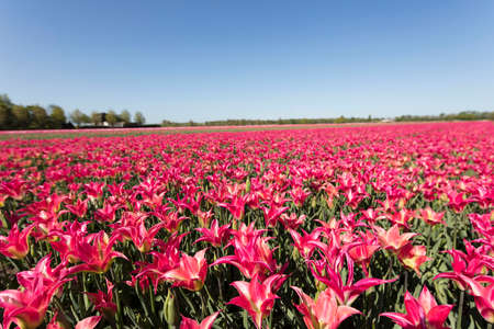 Tulip plantation in Netherlands. Traditional dutch rural landscape with fields of tulips during springtime.