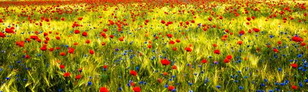 A field with lots of poppies and cornflowers Imagens