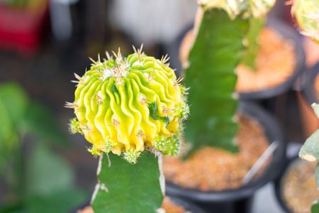 beatiful: Beatiful Cactus in pot background in garden. Stock Photo