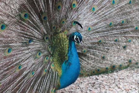 Peacock plumage detail (open tail)