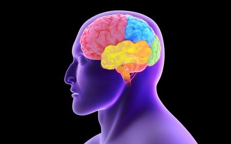 midbrain: Conceptual image of human brain.