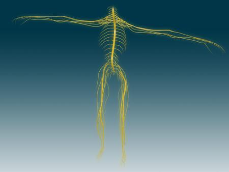 sacral: Conceptual image of human nervous system.