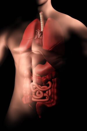 cecum: Male body with internal organs.
