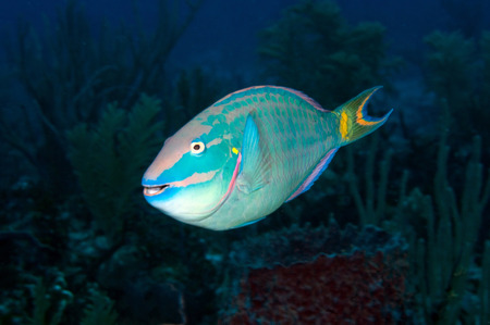 parrotfish: Stoplight Parrotfish on Caribbean reef. LANG_EVOIMAGES