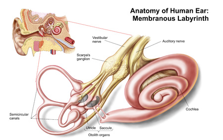 aural: Anatomy of human ear, membranous labyrinth. LANG_EVOIMAGES