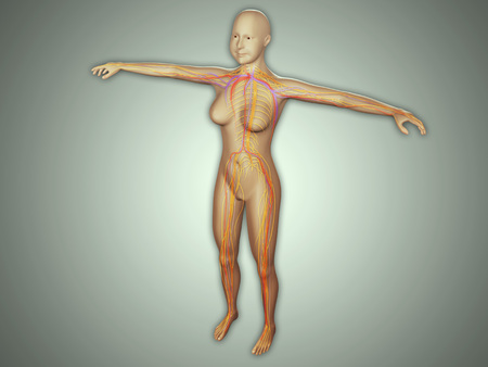 Anatomy of female body with arteries, veins and nervous system.