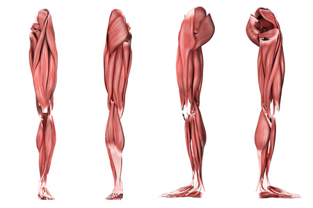 Medical illustration of human leg muscles, four side views.