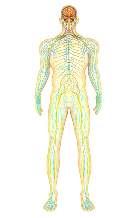 enteric: Anatomy of human nervous system and lymphatic system, front view.