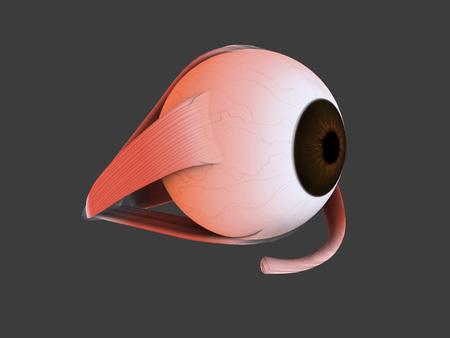 crystalline lens: Conceptual image of human eye anatomy.