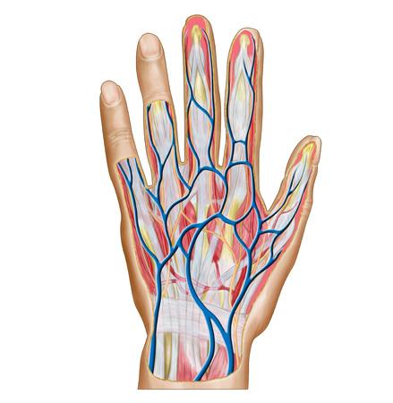 Anatomy of back of human hand.
