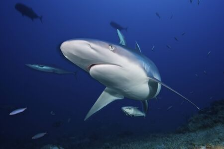 A large silvertip shark comes in close to look at the photographer, Fiji. LANG_EVOIMAGES