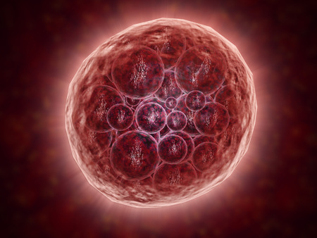 embryogenesis: Cluster of blastomeres forming a developing morula (early stage of embryonic development). LANG_EVOIMAGES