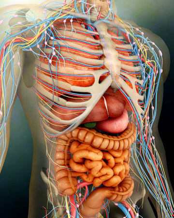 cecum: Perspective view of human body, whole organs and bones.
