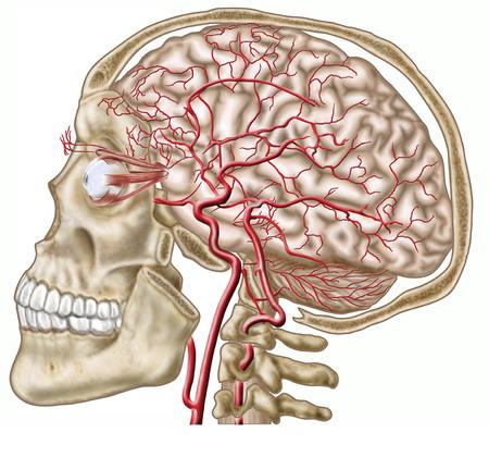 Anatomy Of Human Skull, Eyeball And Arteries To Brain. Stock Photo ...