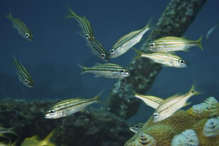 Juvenile Yellow Striped Grunts, Bonaire, Caribbean Netherlands.