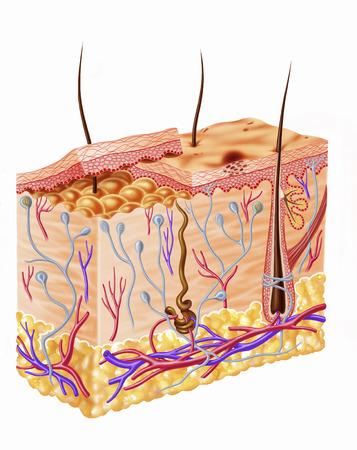 endings: Diagram showing anatomy of human skin.
