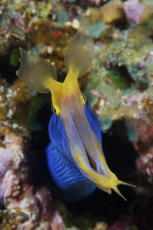 A beautiful Ribbon Eel displays its open mouth to the photographer,Fiji.