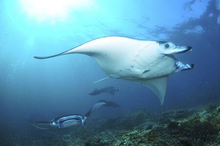 ichthyology: Manta Rays, Komodo, Indonesia.