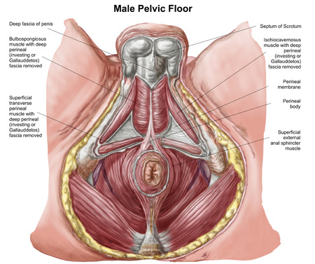 Pelvic floor of human male.