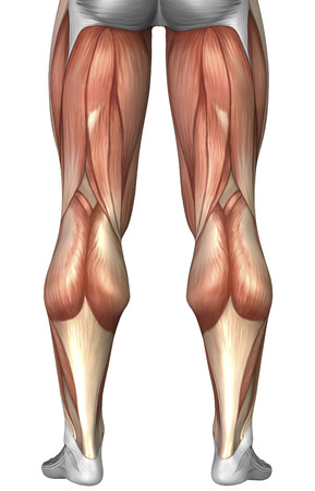 Diagram illustrating muscle groups on back of human legs.