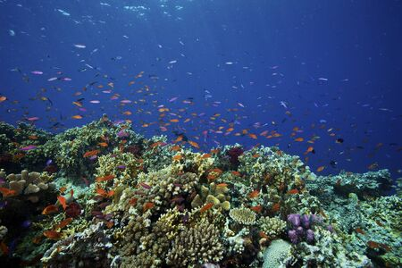 lyretail: A school of orange basslets (Pseudanthias squamipinnis) on a healthy Fijian reef.