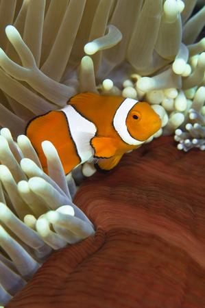 percula: Clown anemonefish in anemone, Great Barrier Reef, Australia.