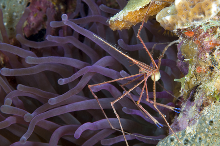 Yellowline Arrow crab with eggs on purple caribbean anemone. LANG_EVOIMAGES