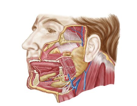 glands: Anatomy of human salivary glands.