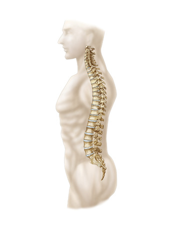 vertebral column: Anatomy of human vertebral column, left lateral view.