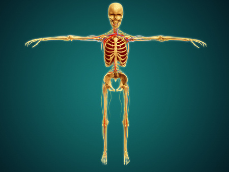 Front view of human skeleton with nervous system, arteries and veins. LANG_EVOIMAGES
