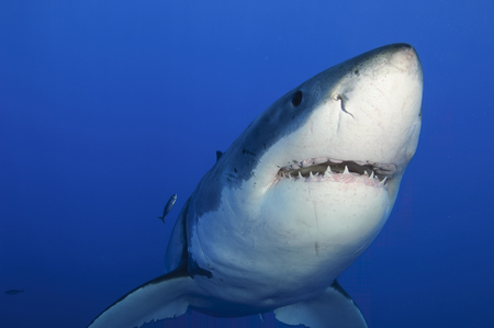 guadalupe island: Female Great White Shark, Guadalupe Island, Mexico.