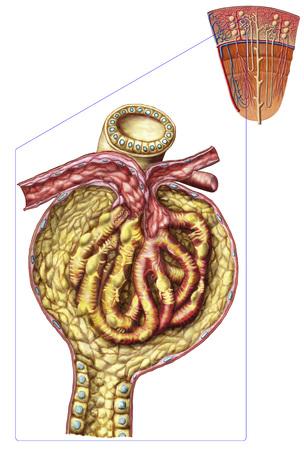 Anatomía de la cápsula glomerular del arquero.