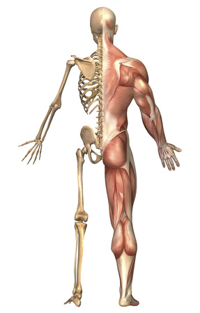 Medical illustration of the human skeleton and muscular system, back view.