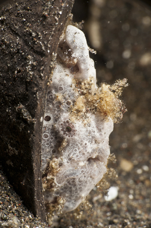 Grey frogfish in coconut shell, Lembeh Strait, Bitung, North Sulawesi, Indonesia. LANG_EVOIMAGES