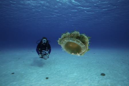 propulsion: Scuba diver on her underwater propulsion vehicle getting a close-up look at an upside-down jellyfish, Bonaire, Caribbean Netherlands.