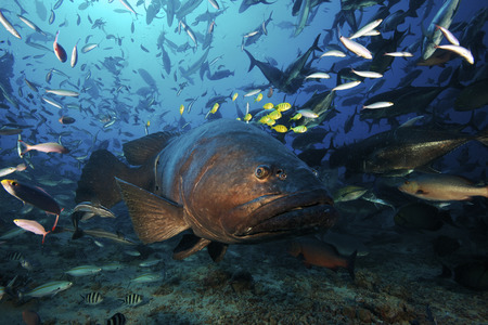 lanceolatus: Fiji - Giant grouper (Epinephelus lanceolatus) has a school of golden trevally (Gnathanodon speciosus) using its size for protection while hundreds of other fish swim about during a shark feed. The giant grouper is the largest bony fish in the world, and