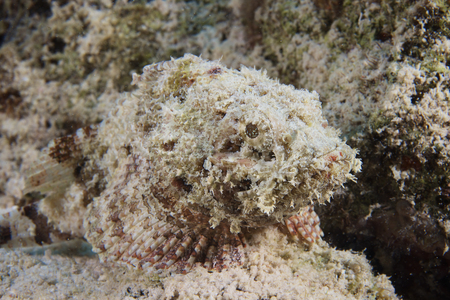 stonefish: A Juvenile Spotted Scorpionfish camouflaged to its surroundings, Bonaire, Caribbean Netherlands.