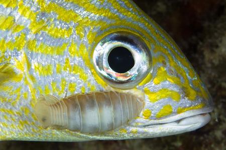 Parasitic Isopod on grunt fish, Belize.