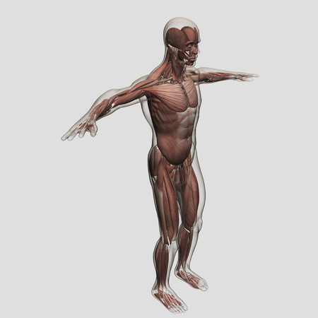 Anatomy Of Male Muscular System Side View Stock Photo Picture And