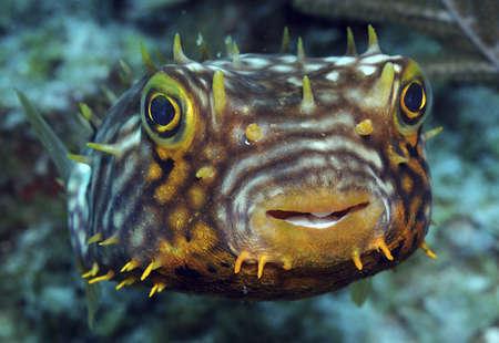 Striped Burrfish on caribbean reef.